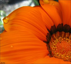 Tearful Heart (☜✿☞ Bo ☜✿☞) Tags: orange flower macro garden flickr ngc explore gazania orangegarden flickrexplore masterphotos canong9