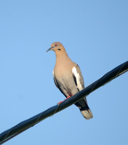 whitewinged dove