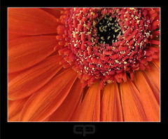 I can see clearly now (Gary*) Tags: red orange flower detail macro petals searchthebest bright gerbera pollen newday sunshiny lovephotography mywinners spiritofphotography mondocafeclub