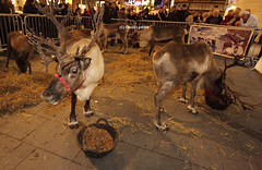 Reindeers at Met Quarter 27/11/08 (davesliverpool08 (David Lydiate)) Tags: christmas liverpool reindeers europeancapitalofculture2008