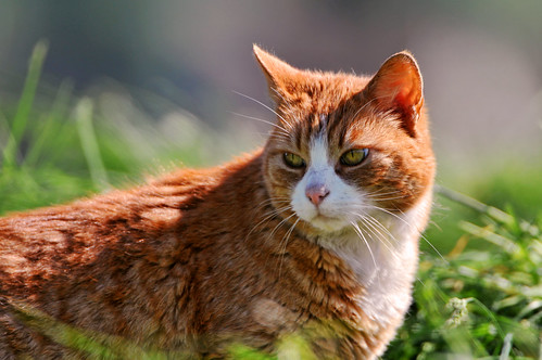 Red kitty in the grass