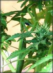 Cannabis Mantis