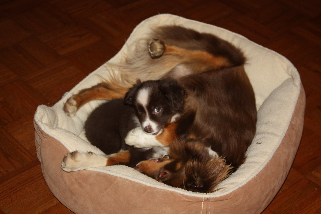 Mini Aussie puppies in bed