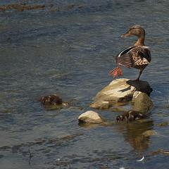 questo  il ballo del qua qua (g_u) Tags: river florence fiume firenze arno gu animali ugo cazzate anatra pescaia canzoni anatroccoli rovezzano