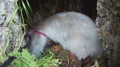 Pua digs in a hallow tree