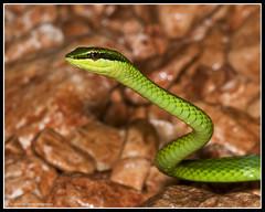 Culebrita Verde