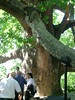 600 years tree- Bursa