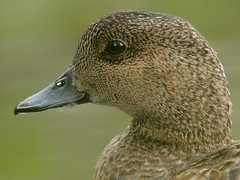 Wigeon (aaluva) Tags: summer nature june finland pond wildlife 1001nights teleconverter kuopio kes conservationarea wigeon lampi anaspenelope keskuu tc17eii neulamki nikkor300mmf28 vuorilampi haapana easternfinland itsuomi natureconservationarea pohjoissavo vosplusbellesphotos telejatke