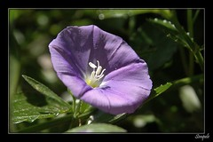 Blaue Mauritius (Simpel1) Tags: berlin germany pflanze nikond70s blume blte blauemauritius