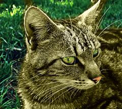 501 Cat in Grass 2 (Nebojsa Mladjenovic) Tags: light summer cats mist green grass animal animals digital cat outdoors lumix kat chat panasonic domestic gato katze gatto priroda ete leto macke fz50 svetlost macka platinumheartaward grouptripod mladjenovic