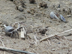 That's a female fiddler on the left (capecodartandnature) Tags: beach capecod small sealife lowtide seashore tidal oceanlife fiddlercrabs springritual graybrown displaybehavior crabcolony courtshipbehavior
