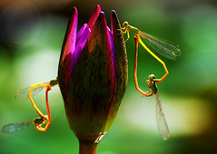 Double Love on the Lotus (GOPAN G. NAIR [ GOPS Photography ]) Tags: nature photography dragonfly mating gops gopan gopsorg gopangnair