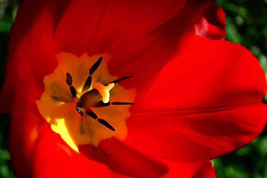 A bright red tulip.