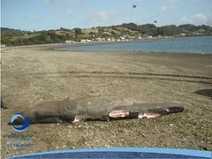 cmaximus26 (Tiburones Chile) Tags: chile peregrino diversidad biodiversidad especieamenazada tiburonperegrino ¿sabiasquedescubre