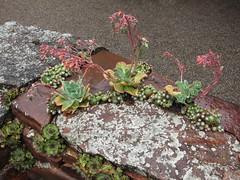 Sempervivum arachnoideum and Echeveria Rock Wall (Kelley Macdonald) Tags: fence sempervivum echeveria semp sempervivumarachnoideum roackwall succulentwall