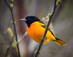 Baltimore Oriole (Muddy River Photography) Tags: orange black tree bird texture nature minnesota birds spring wildlife perch winona limb avian sprouting baltimoreoriole oriole almueller muddyriverphotography canon1dmkiv kinklassen