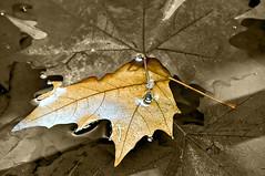 A120-Hoja entre las hojas (Eduardo Arias Rbanos) Tags: autumn macro hoja water leaves sex sepia composition cutout hojas leaf agua nikon sexo otoo vegetal macrophotography d300 composicin macrofotografa desaturadoparcial eduardoarias eduardoariasrbanos