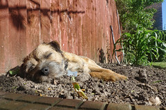 Yeah, I'm sleeping here (Chapmanc123) Tags: uk sleeping england dog fence garden out corn crash sleep border whiskers dirt kip terrier snooze paws maize mut mutlet