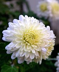 White Chrysanthemums (ladyinpurple) Tags: white flower macro mum chrysanthemum