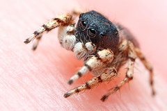 January Jumping Spider