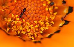 Spring brings the ants again. (fantommst) Tags: game macro closeup catchycolors vivid orangeflower blackant thecolor flickrchallengegroup flowerpicturesnolimits flickrchallengewinner wonderfulworldofflowers thechallengefactory trueblueaussieandkiwichallengegroup