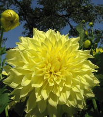as yellow as it gets (langkawi) Tags: dahlia flower colors yellow gelb langkawi dahlie naturesfinest excellentsflowers awesomeblossoms