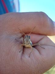 help (campitostes) Tags: argentina bellocq langosta pciabsas tucura carloscasares