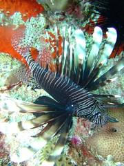 Lionfish (My K) Tags: sunset fish bus me fruit nikon bottles turtle walk group diving gecko lionfish voodoo cardtrick d90