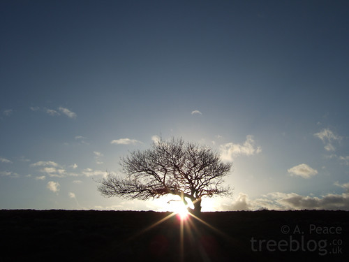 The Lonely Oak at sunset.