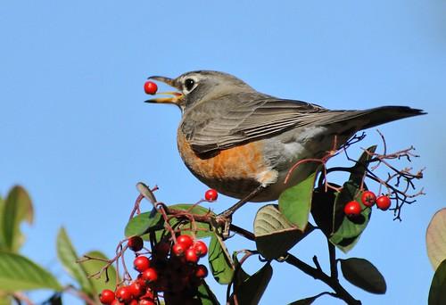 robin berry1
