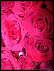 Happy Valentines Day!!! (N-Ray) Tags: red india flower macro rose geotagged bangalore bunch karnataka valentinesday narayana canonpowershots5is geo:lat=13040055 geo:lon=77578432