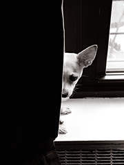 Peep (Angela.) Tags: blackandwhite bw dog chihuahua blackwhite lulu explore chi quadtone explored p1020548 lx3 panasoniclumixdmclx3