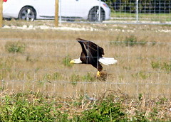 Eagle Collectiing grass