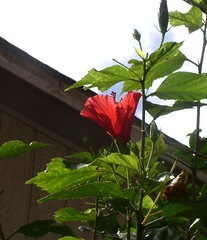 Hibiscus (PaperBouquet of Mars) Tags: flowers blue trees sky flower green nature leaves clouds outside outdoors spring branches bluesky hibiscus pinkflower growing redflower whitefluffyclouds largeflower