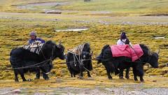 Nomads, and Yaks, (reurinkjan) Tags: yak tibet nomad tibetan 2008 changtang namtsochukmo drokba nyenchentanglha tibetanlandscape tengrinor janreurink damshungcounty damgzung