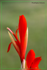 Red flower (juzz_arisuta) Tags: red flower nature redflower 50d