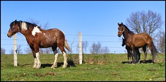 (Rafael Montes) Tags: horses horse portugal de arbol caballo caballos spain y perfil pueblo dramatic olympus sierra leon gata ganado prado salamanca cesped castilla potro rovers hierba yegua caceres rov poble sp500 sahugo saugo 220posse