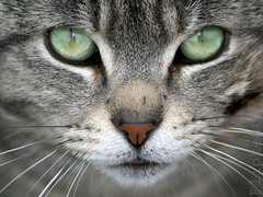 Love Will Save The Day (flipkeat) Tags: pet cats pets macro green face animal closeup port cat amazing cool eyes furry chat awesome gatos greeneyes credit gato mississauga gatto  a100 scrapper feliscatus dslra100 goldstaraward vosplusbellesphotos