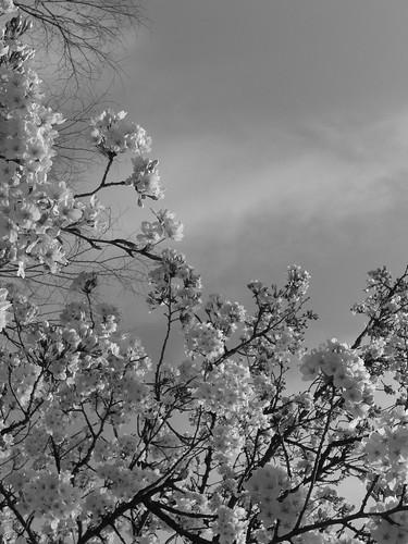 善福寺公園 桜 2009 tokyo
