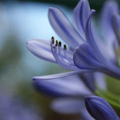 Wonderful agapanthus flower (RachaelMc) Tags: flowers macro beautiful garden backyard gimp agapanthus abigfave citrit flowererotica theperfectphotographer goldstaraward awesomeblossoms thebestofmimamorsgroups rachaelmc rjmcdiarmid