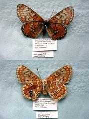Euphydryas desfontainii