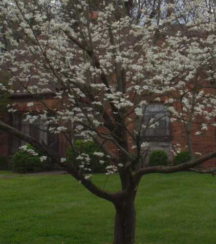 Dogwood Wearing white ...