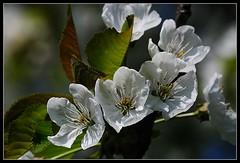 Kirsche (cerasus) (.:matze:.) Tags: macro cherry blossom makro blte cerasus kirsche