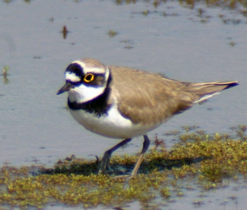 Little Ringed Plover by you.