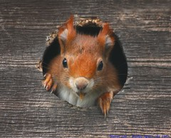 Heeeeeeeeeeeeeeeeere's Johnnnnnny!!!!... (law_keven) Tags: england animals furry squirrel surrey critters furryfriday redsquirrel sciurusvulgaris explore500 britishwildlifecentre genussciurus vosplusbellesphotos