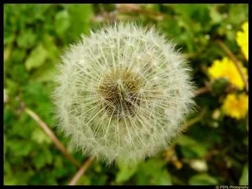 Ball of Future Dandelions