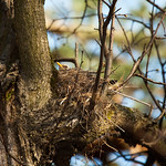 Nesting Fieldfare | Гнездящийся дрозд рябинник thumbnail