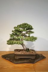 Scots Pine (Pinus sylvestris) (cliff1066) Tags: plant tree art pine museum asian japanese miniature gardening ikebana chinese culture arboretum conservatory bonsai growing japaneseart scots sculpted asianart specimens chineseart nationalarboretum pinussylvestris pinus sylvestris penjing scotspine bonsaimuseum asianculture nationalbonsaimuseum penjingmuseum nationalbonsaipenjingmuseum bonsaipenjingmuseum nationalbonsaipenjing nationalpenjingmuseum sculptedpines