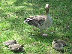 Des petits canards