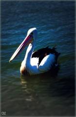 tHis mUSt Be THursDaY (-caz-) Tags: blue bird water waterfoul waterbird pelican noosa foul noosariverpicnik